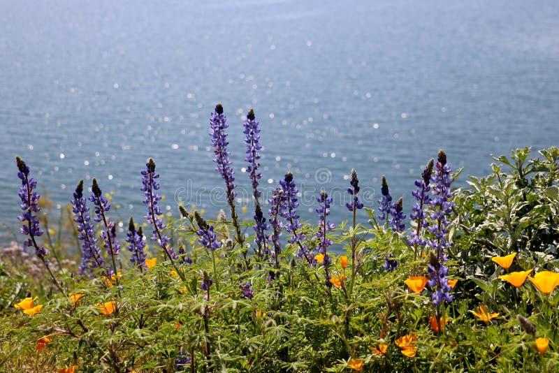 Οι παπαρούνες και τα wildflowers lupine καλύπτουν έναν λόφο κοντά σε μια λίμνη στοκ φωτογραφία με δικαίωμα ελεύθερης χρήσης