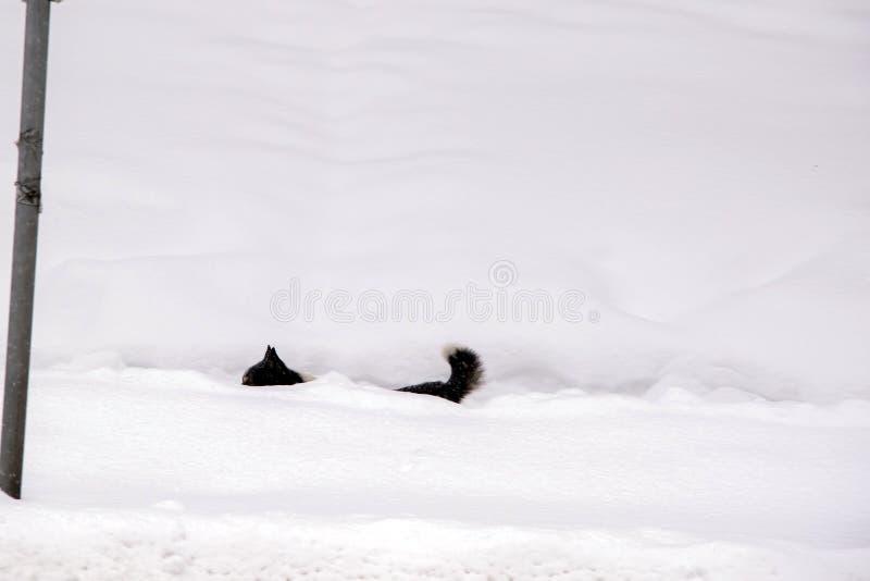 Οι περίπατοι γατών μέσω του χιονιού κατά τη διάρκεια της ισχυρής χιονόπτωσης, μόνο τα αυτιά και η ουρά είναι ορατοί στοκ φωτογραφίες με δικαίωμα ελεύθερης χρήσης