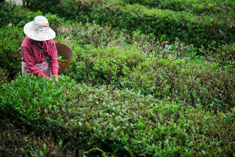Οι περισσότεροι κηπουροί συλλέγουν τα φύλλα τσαγιού στοκ εικόνα