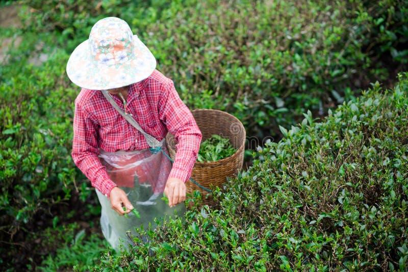 Οι περισσότεροι κηπουροί συλλέγουν τα φύλλα τσαγιού στοκ εικόνες με δικαίωμα ελεύθερης χρήσης