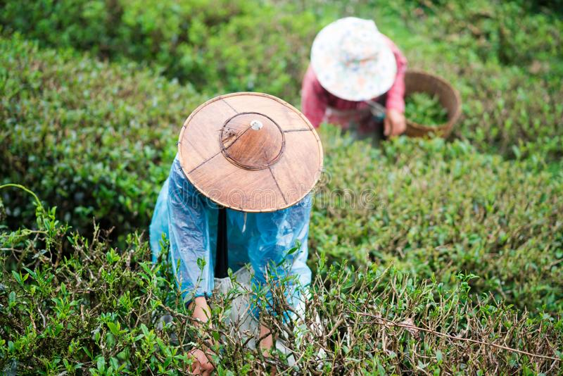 Οι περισσότεροι κηπουροί συλλέγουν τα φύλλα τσαγιού στοκ φωτογραφία