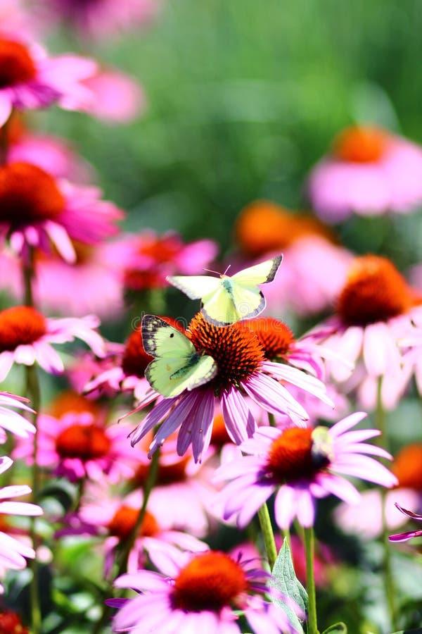 οι πεταλούδες ανθίζουν δύο στοκ εικόνες με δικαίωμα ελεύθερης χρήσης