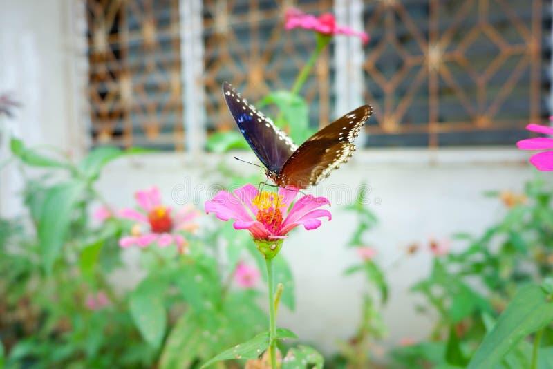Οι πεταλούδες τρώνε το γλυκό νερό στοκ εικόνες με δικαίωμα ελεύθερης χρήσης