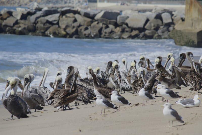 Οι πελεκάνοι και seagulls ενώνουν στοκ εικόνα