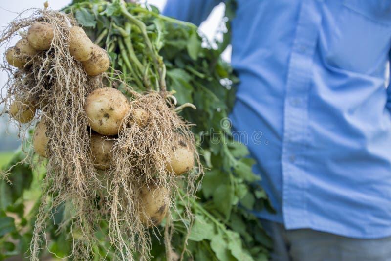 Οι πλήρεις πατάτες ριζών παρουσιάζουν έναν εργαζόμενο σε Thakurgong, Μπανγκλαντές στοκ φωτογραφίες με δικαίωμα ελεύθερης χρήσης