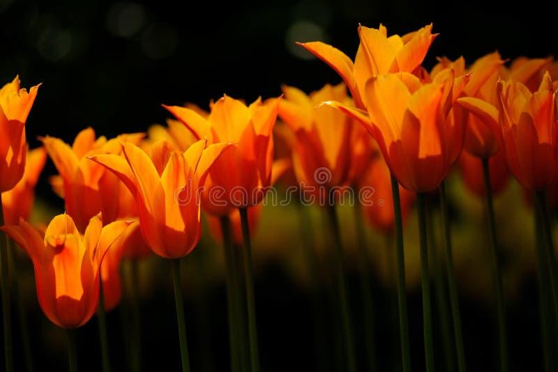 Οι πορτοκαλιές τουλίπες είναι στην πλήρη άνθιση σε Keukenhof στις Κάτω Χώρες στοκ φωτογραφία με δικαίωμα ελεύθερης χρήσης