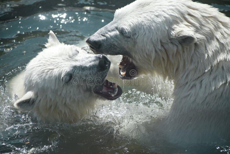 Οι πολικές αρκούδες παίζουν η μια με την άλλη στοκ φωτογραφία
