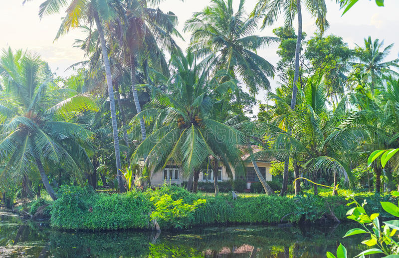 Οι πολύβλαστοι φοίνικες στο κανάλι του Χάμιλτον ` s, Σρι Λάνκα στοκ εικόνα