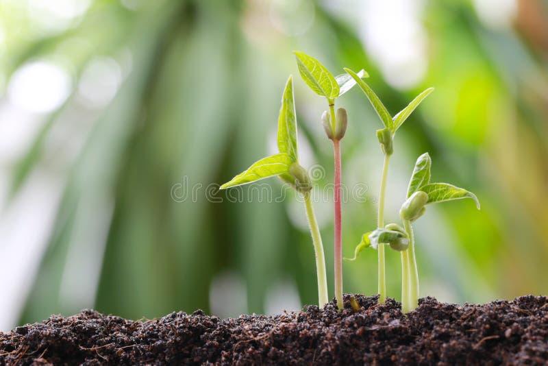 Οι πράσινοι νεαροί βλαστοί φασολιών στο χώμα στο φυτικό κήπο και έχουν το natu στοκ φωτογραφία με δικαίωμα ελεύθερης χρήσης