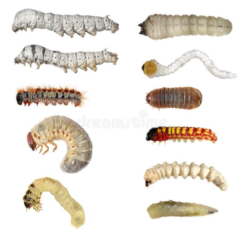 Οι προνύμφες εντόμων (κάμπιες) θέτουν στοκ εικόνες