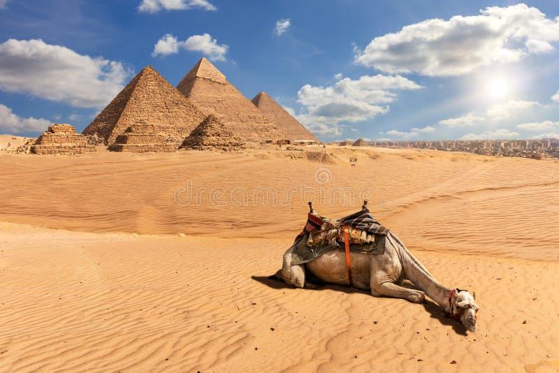 Οι πυραμίδες Giza και μιας καμήλας στην έρημο, Αίγυπτος στοκ εικόνες