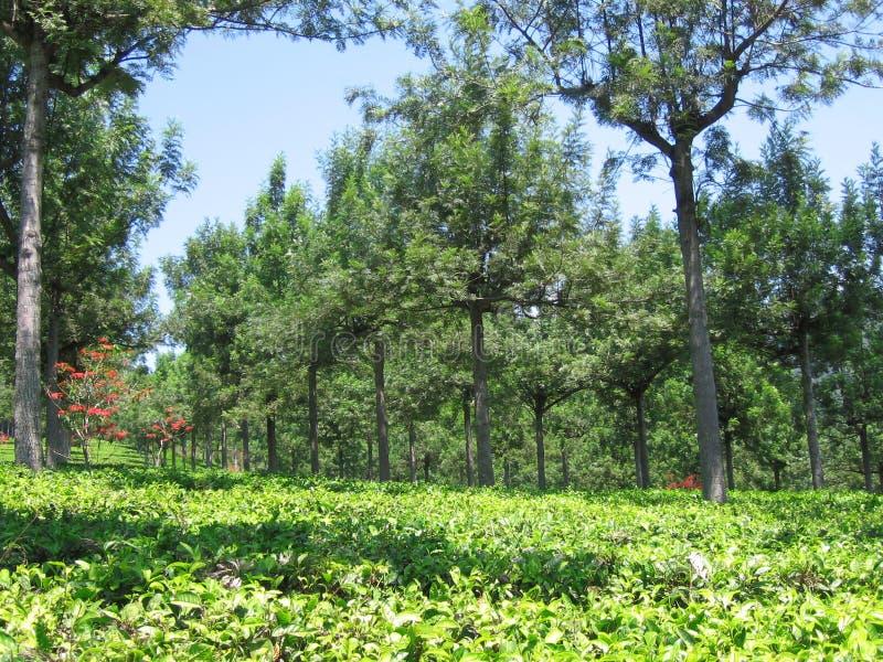 Οι σειρές των δέντρων κιγχόνης στη φυτεία τσαγιού Gambung στοκ φωτογραφίες με δικαίωμα ελεύθερης χρήσης
