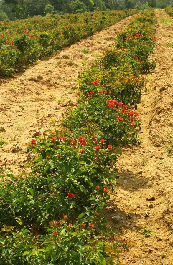 Οι σειρές των μικρών κόκκινων τριαντάφυλλων με τους οφθαλμούς στις εγκαταστάσεις στοκ εικόνες