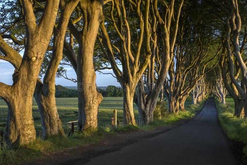 Οι σκοτεινοί φράκτες - κομητεία Antrim - Βόρεια Ιρλανδία στοκ εικόνα με δικαίωμα ελεύθερης χρήσης