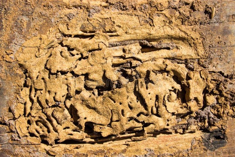 Οι τερμίτες τρώνε την ξύλινη επιφάνεια και η φωλιά στηρίζεται στο σπίτι τοίχων στοκ φωτογραφίες