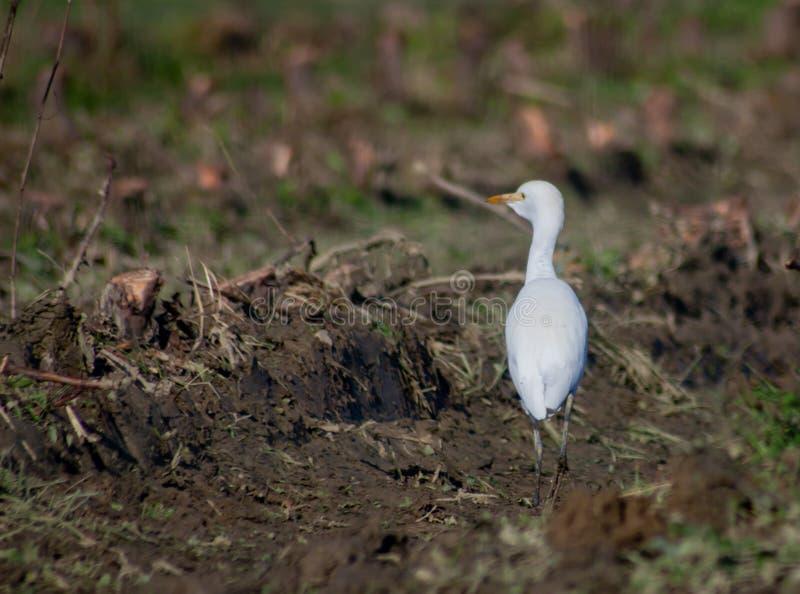 Οι τεχνίτες είναι μια οικογένεια πουλιών της τάξης των Πελεκάνων, στα οποία ανήκουν, για παράδειγμα, τα ερώνια στοκ εικόνα με δικαίωμα ελεύθερης χρήσης
