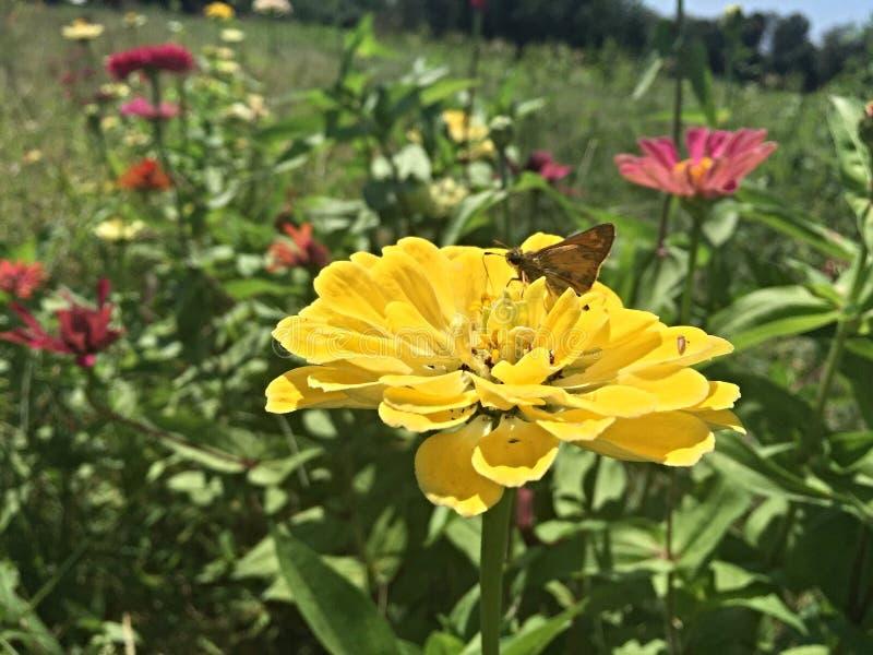 Οι τομείς και οι πεταλούδες λουλουδιών πηγαίνουν από κοινού στοκ εικόνα