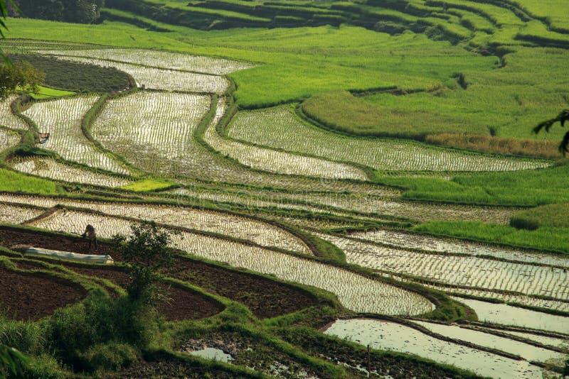 Οι τομείς ορυζώνα, Sumatra στοκ εικόνα