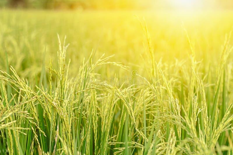 Οι τομείς ρυζιού πράσινοι και ο χρυσός είναι όμορφες εικόνες στοκ εικόνες