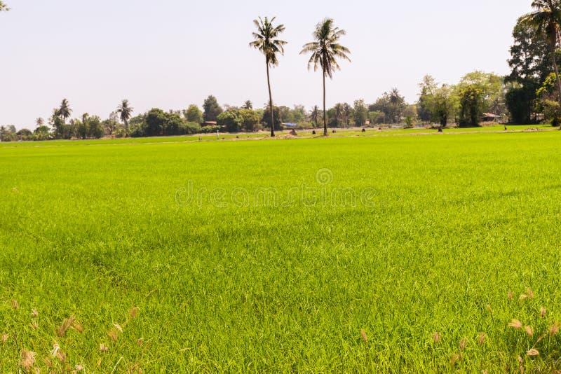 Οι τομείς ρυζιού πρόκειται να είναι έτοιμοι για τη συγκομιδή στοκ φωτογραφίες