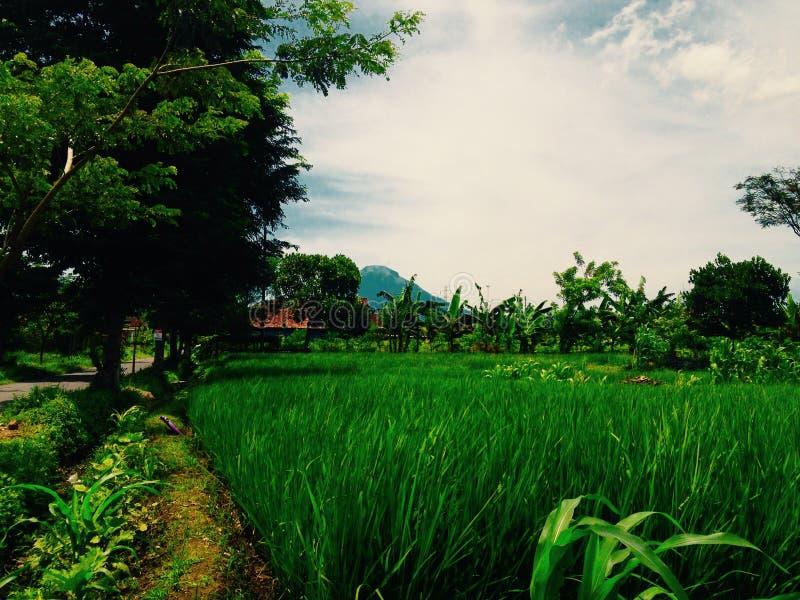 Οι τομείς ρυζιού στοκ εικόνες με δικαίωμα ελεύθερης χρήσης