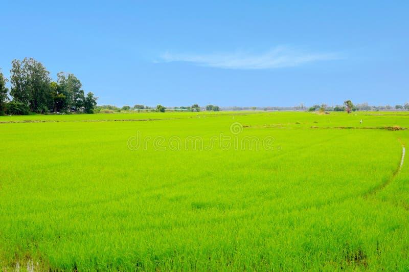 Οι τομείς ρυζιού στοκ φωτογραφία με δικαίωμα ελεύθερης χρήσης