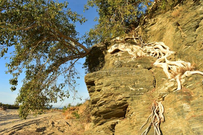Οι τροπικές ρίζες δέντρων αυξάνονται στον απότομο βράχο Μπάχα Καλιφόρνια Sur, Μεξικό βράχου στοκ εικόνες