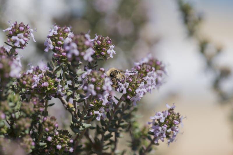 Οι τροφές μελισσών με τα λουλούδια θυμαριού στοκ εικόνες με δικαίωμα ελεύθερης χρήσης