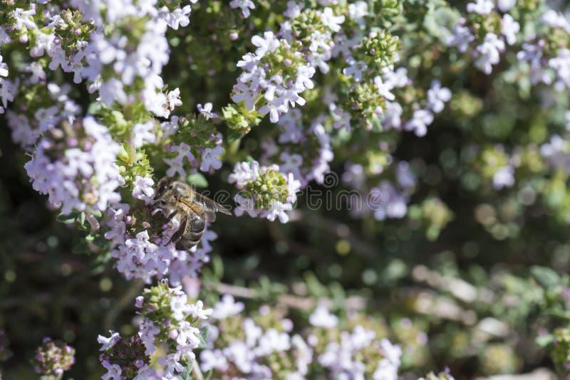 Οι τροφές μελισσών με το θυμάρι ανθίζουν επικονιάζοντας στοκ φωτογραφία με δικαίωμα ελεύθερης χρήσης
