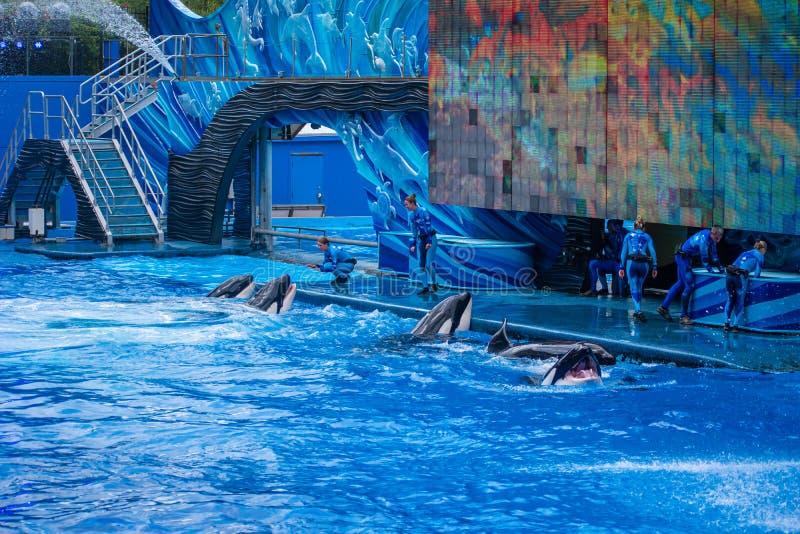 Οι φάλαινες δολοφόνων που περιμένουν τα ψάρια, και τις διαταγές εκπαιδευτών στο ένα ωκεάνιο παρουσιάζουν σε Seaworld 2 στοκ φωτογραφία