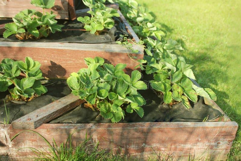 Οι φράουλες μεγαλώνουν στο αυξημένο κρεβάτι κήπων Αυξημένος πυραμίδα κήπος στοκ εικόνες με δικαίωμα ελεύθερης χρήσης