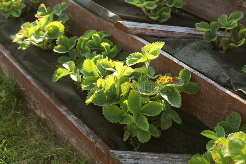 Οι φράουλες μεγαλώνουν στο αυξημένο κρεβάτι κήπων Αυξημένος πυραμίδα κήπος στοκ φωτογραφία με δικαίωμα ελεύθερης χρήσης