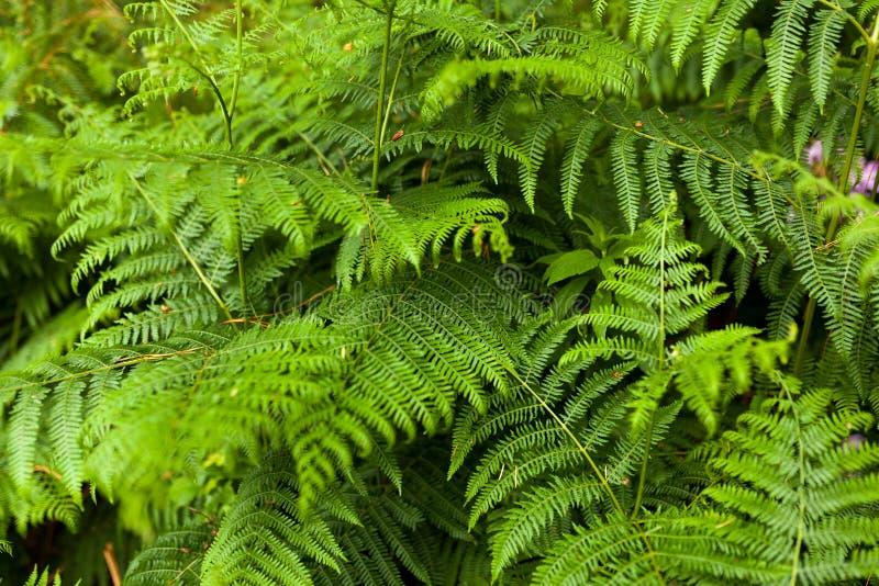Οι φτέρες Beautyful αφήνουν στο πράσινο φύλλωμα το φυσικό floral υπόβαθρο φτερών στον ήλιο Οριζόντια εικόνα στοκ φωτογραφίες με δικαίωμα ελεύθερης χρήσης