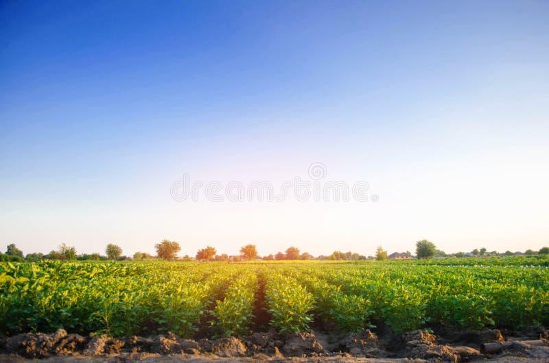 Οι φυτείες πατατών αυξάνονται στον τομέα φυτικές σειρές Καλλιέργεια, γεωργία Τοπίο με τη αγροτική γη συγκομιδές στοκ εικόνες με δικαίωμα ελεύθερης χρήσης