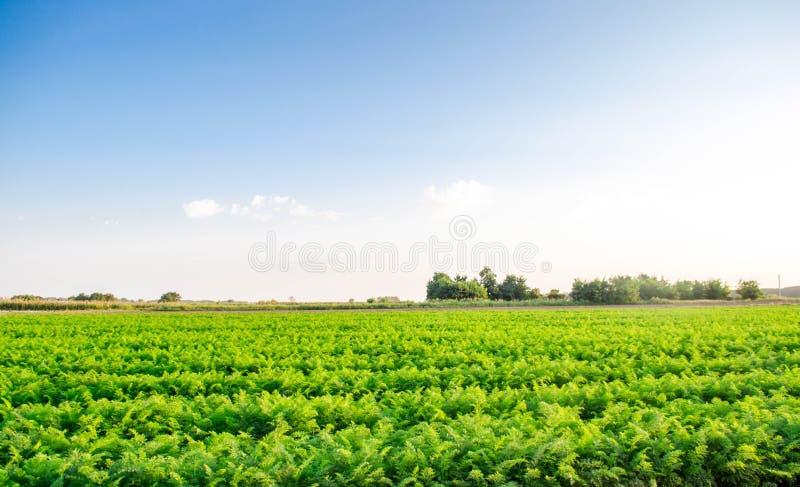 Οι φυτείες των καρότων αυξάνονται στον τομέα οργανικά λαχανικά Γεωργία τοπίων στοκ εικόνα με δικαίωμα ελεύθερης χρήσης