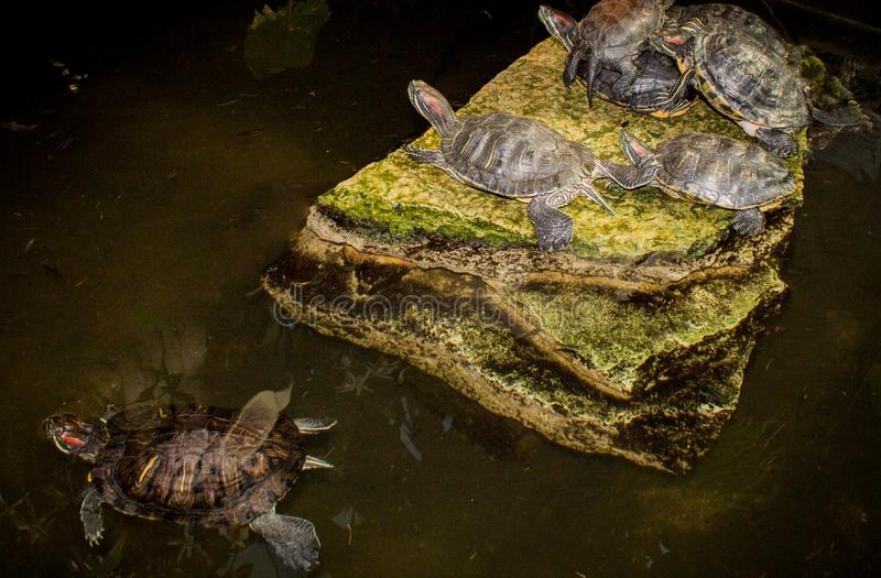 Οι χελώνες νερού βρίσκονται σε μια πέτρα στο σκοτεινό υπόβαθρο στοκ φωτογραφίες με δικαίωμα ελεύθερης χρήσης
