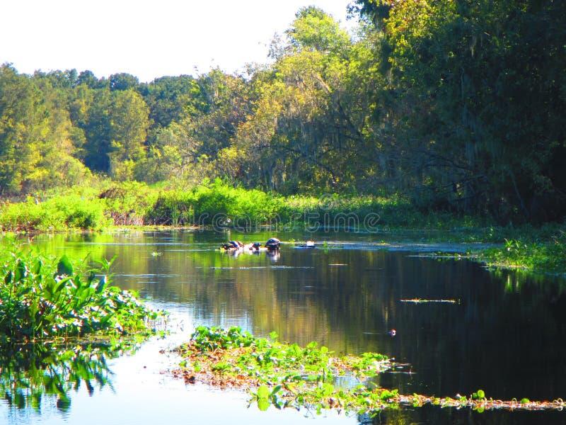 Οι χελώνες στηρίζονται σε ένα κούτσουρο, κατά μήκος των όχθεων ενός ποταμού της Φλώριδας στοκ φωτογραφία