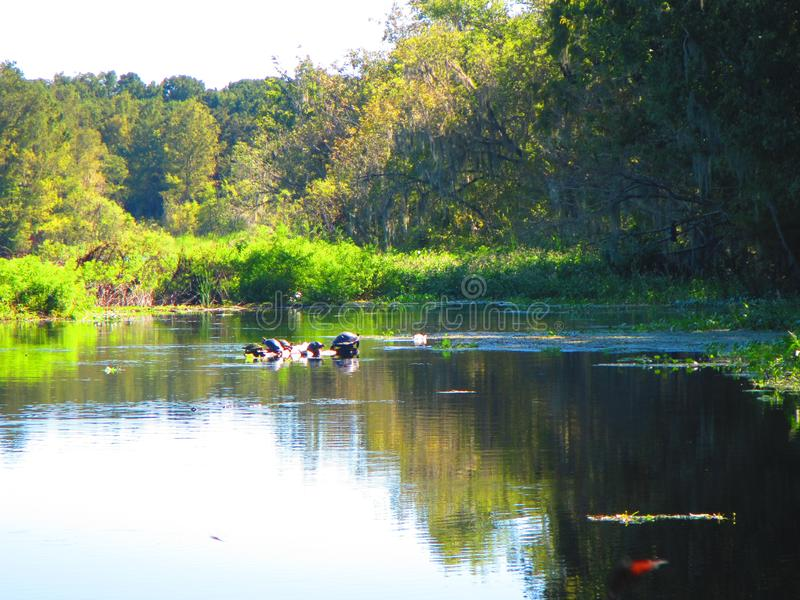 Οι χελώνες στηρίζονται σε ένα κούτσουρο, κατά μήκος των όχθεων ενός ποταμού της Φλώριδας στοκ εικόνες