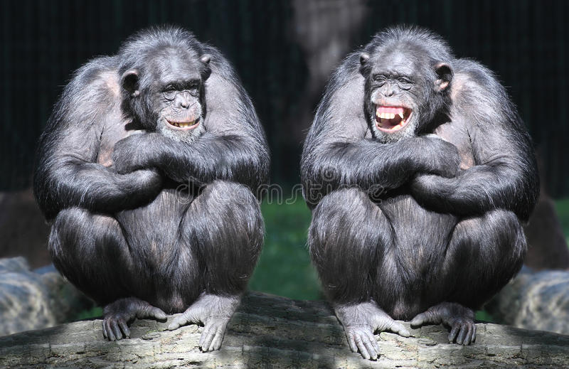 Οι χιμπατζές.