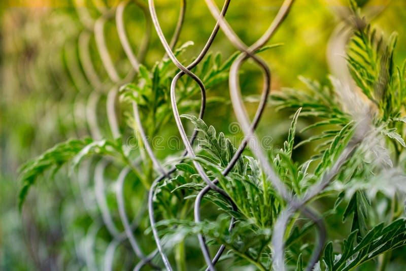 Οι χλοώδεις νεαροί βλαστοί βλάστησης μέσω ενός πλέγματος μετάλλων, ένα δίχτυ Πράσινη αμβροσία, με το θερμό κίτρινο φως στοκ εικόνα με δικαίωμα ελεύθερης χρήσης