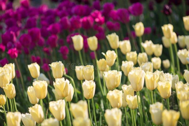 Οι όμορφες κίτρινες και πορφυρές τουλίπες στο α με το φως του ήλιου στοκ εικόνες