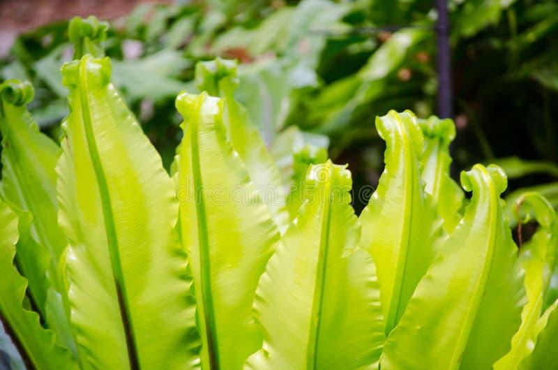 Οι όμορφες Flamenco πράσινες εγκαταστάσεις φτερών παρουσιάζουν της όμορφο κυρτό σε έναν βοτανικό κήπο στοκ φωτογραφία