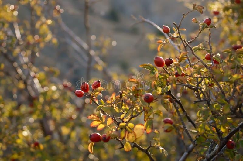 Οι όμορφοι θάμνοι των άγρια περιοχών αυξήθηκαν στις ακτίνες του ηλιοβασιλέματος στο βουνό στοκ εικόνες