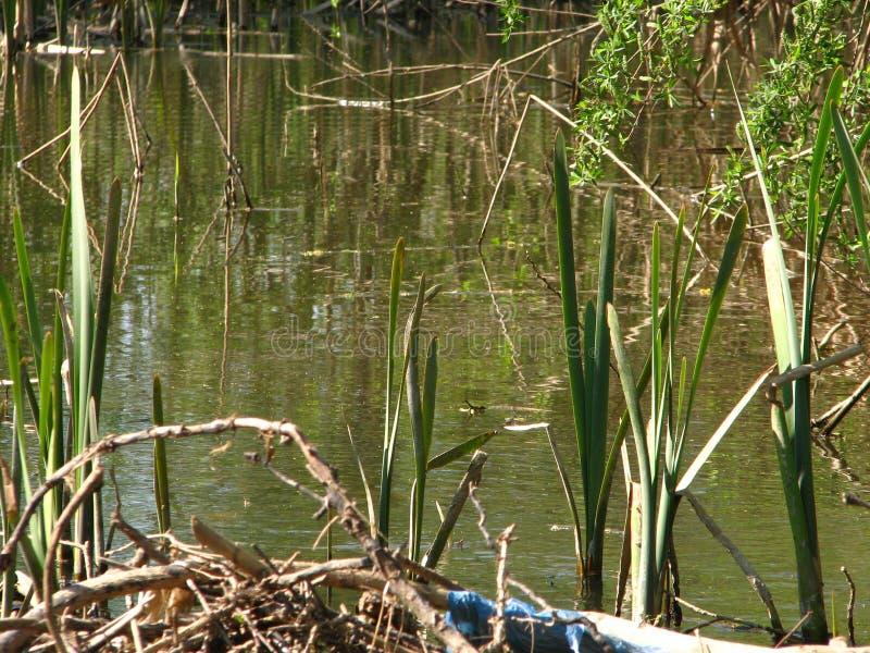Οι όχθεις του ποταμού με τους καλάμους και τις ρίζες στοκ φωτογραφίες
