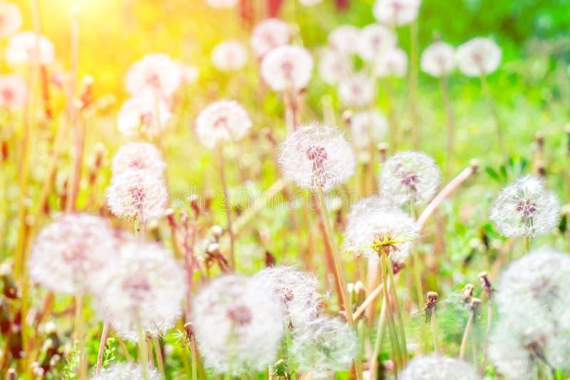 Οι Dandelions στο γήπεδο φωτεινή ηλιόλουστη ημέρα επιλεκτική εστίαση στοκ εικόνες με δικαίωμα ελεύθερης χρήσης