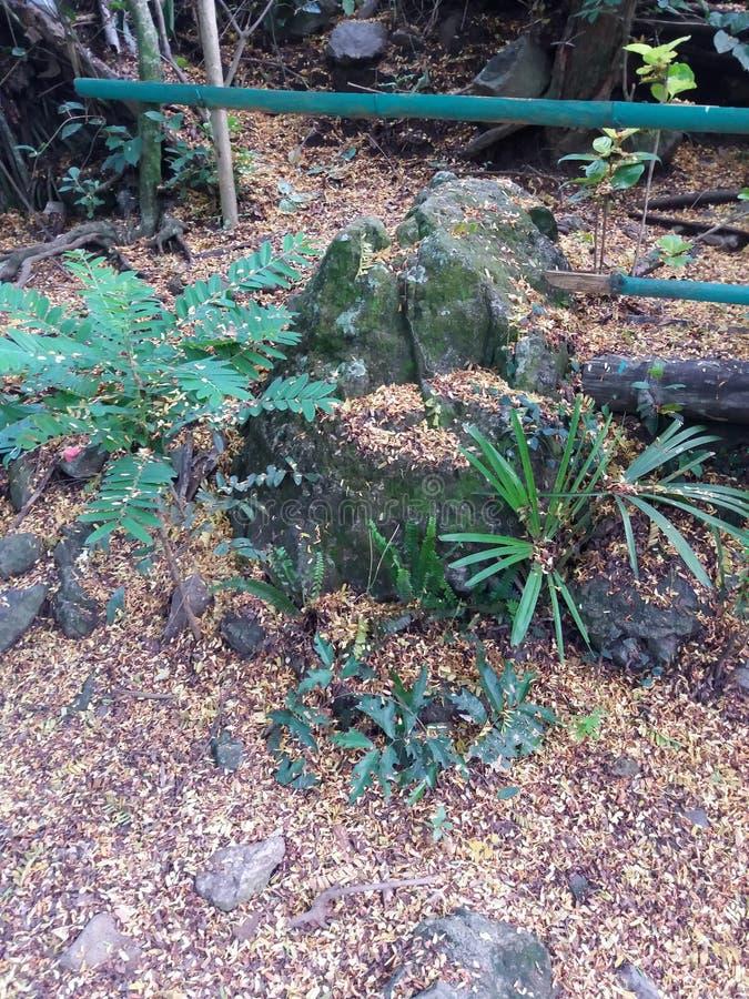 Οι Mossy βράχοι ασβεστόλιθων εκτός από ένα Tamarind και φοινίκων δενδρύλλιο που περιβάλλεται από νεκρό, κίτρινο Tamarind φεύγουν στοκ εικόνες με δικαίωμα ελεύθερης χρήσης