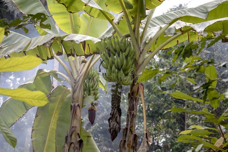 Οι Unripe μπανάνες στη ζούγκλα κλείνουν επάνω: Πράσινο δέντρο μπανανών στο τροπικό δάσος της λεκάνης του Αμαζονίου στη Νότια Αμερ στοκ φωτογραφίες με δικαίωμα ελεύθερης χρήσης
