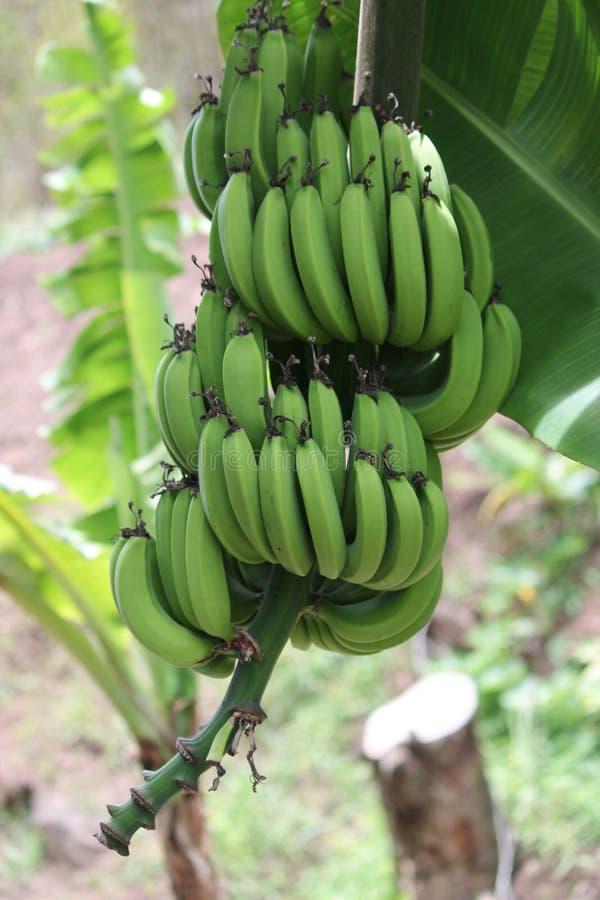 Οι Unripe μπανάνες στη ζούγκλα κλείνουν επάνω στοκ εικόνες με δικαίωμα ελεύθερης χρήσης