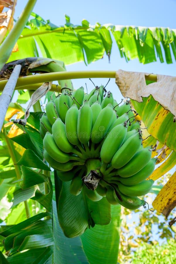 Οι Unripe μπανάνες στη ζούγκλα κλείνουν επάνω στοκ φωτογραφία
