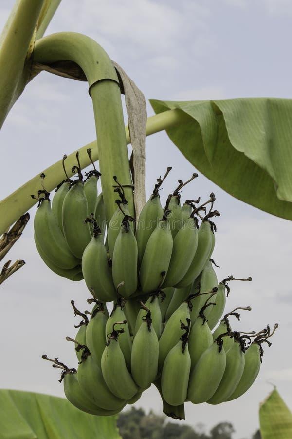 Οι Unripe μπανάνες στη ζούγκλα κλείνουν επάνω στοκ εικόνα με δικαίωμα ελεύθερης χρήσης